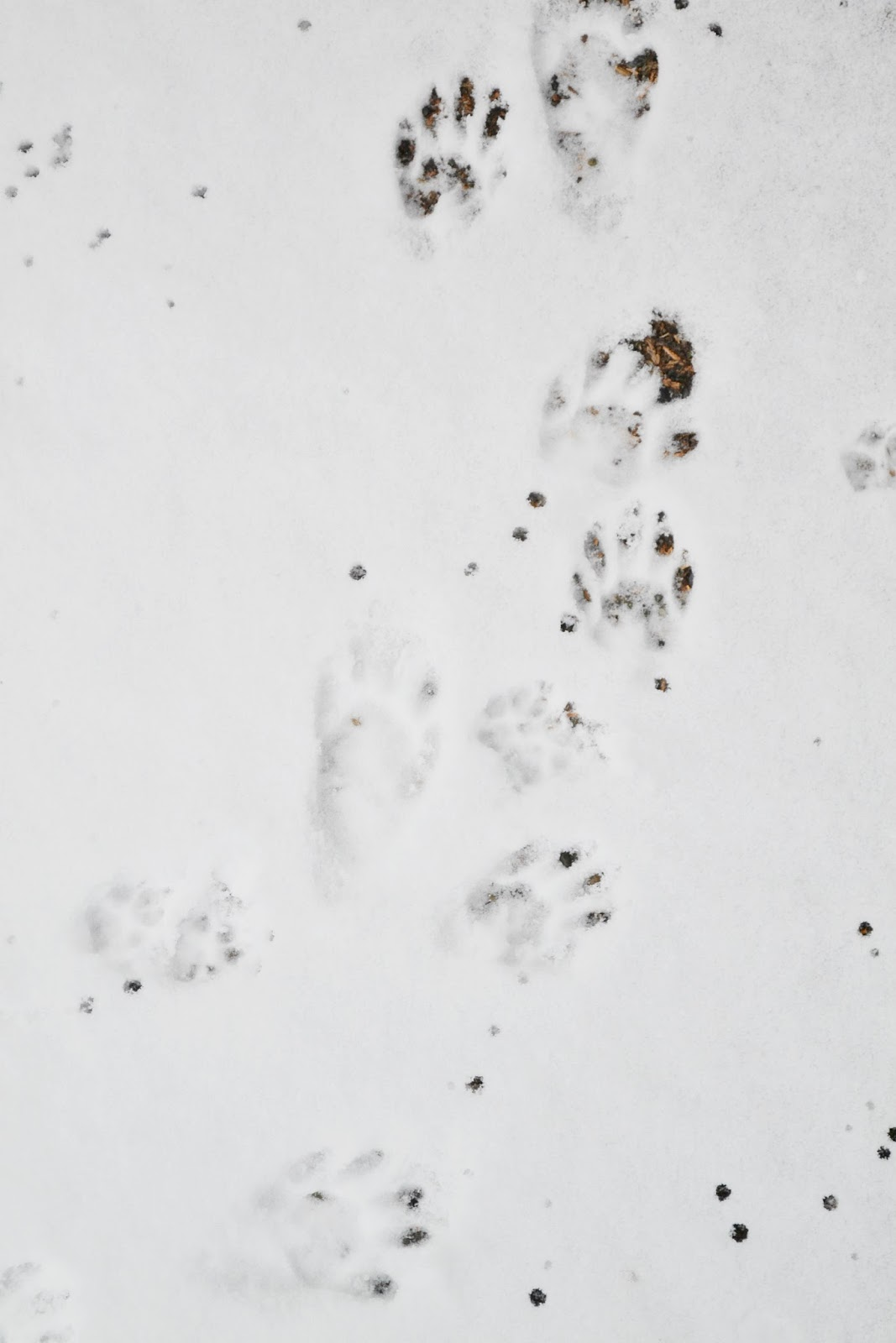 raccoons, paws, tracks, snow, nature