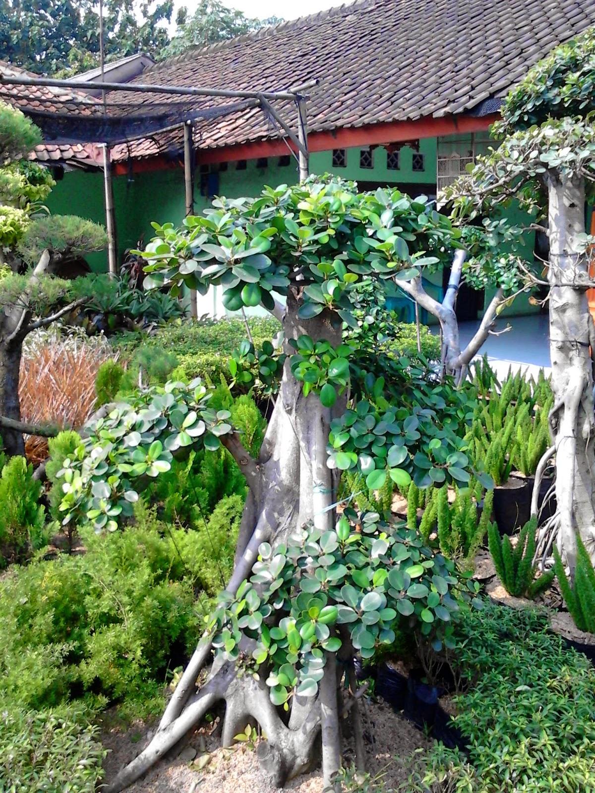 Jual pohon bonsai beringin korea,bonsai antingputri,bonsai cemara udang
