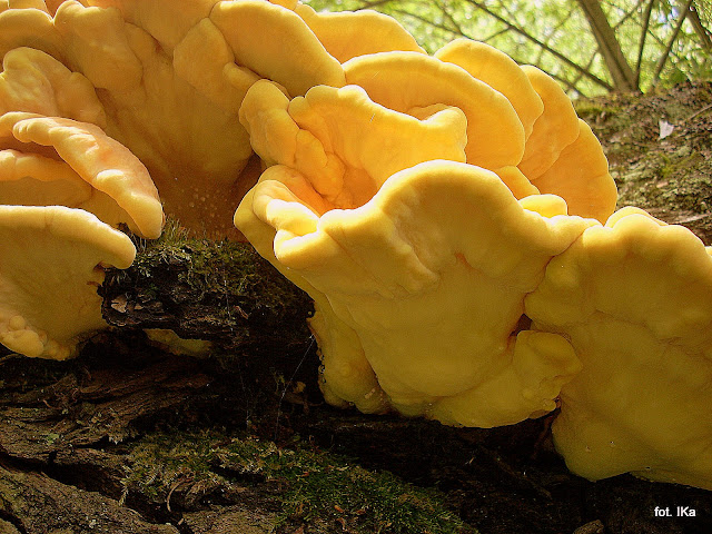 żółciak siarkowy , chicken of the woods , grzyby ,