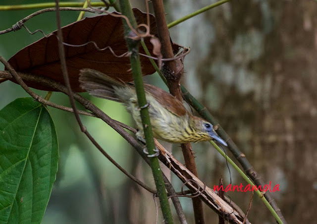 Striped Tit Babbler (Macronous gularis)