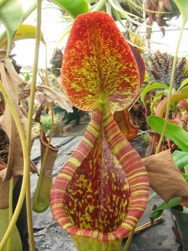 Carinvorous Plant at Mesa Exotics - nepenthes, pitcher