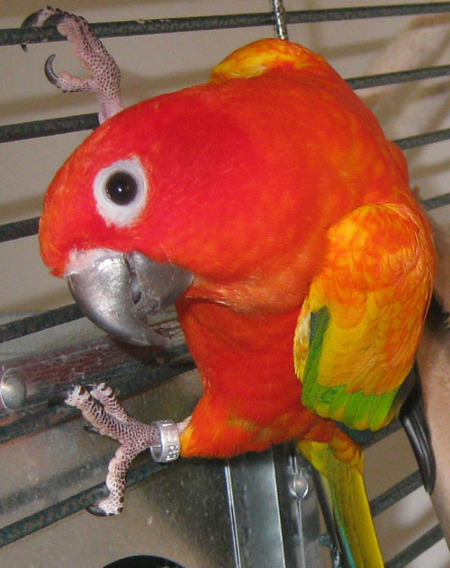 Red factor sun conure and sun conure both birds are similar with