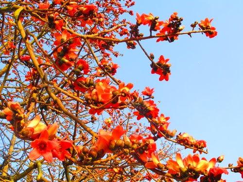火紅的木棉花綻放於三月, 雲林的木棉道在 西螺, 虎尾, 崙背, 二崙