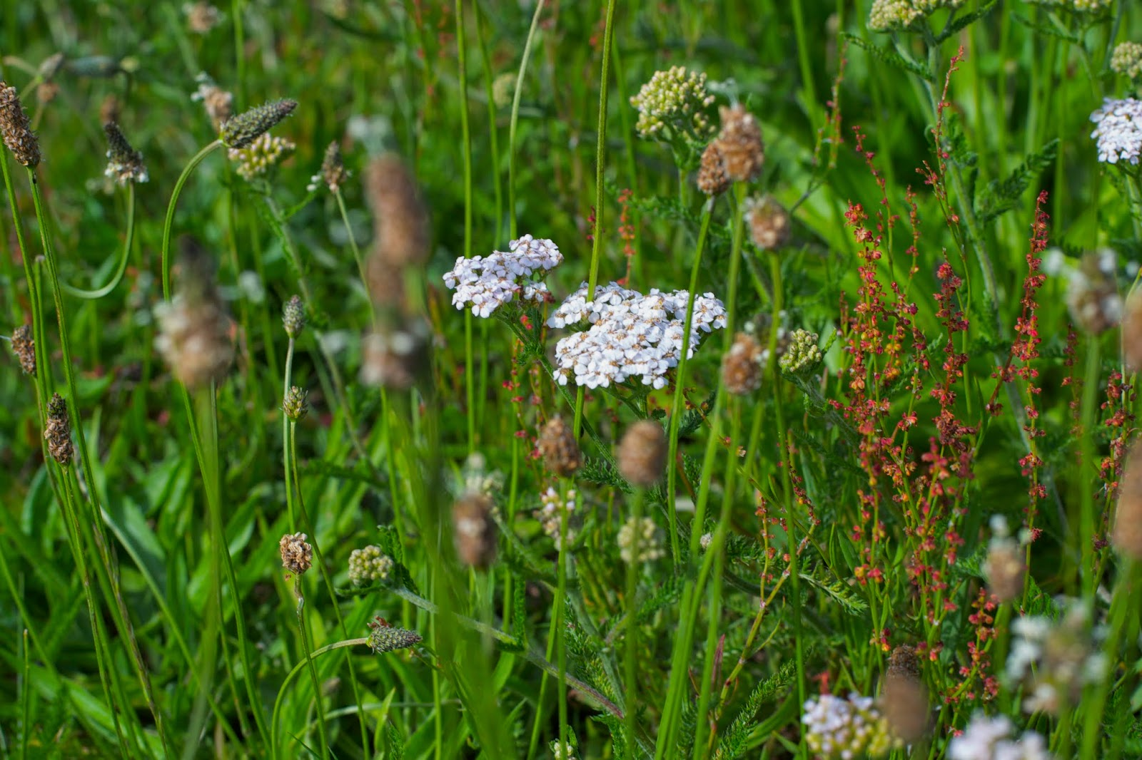 Oh, hello Yarrow! Look at you shining in the sun, among the wild grasses!