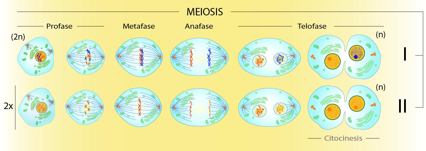 faces de la meiosis: