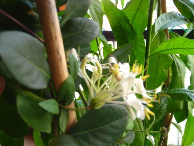 Astrologia la madreselva la planta de aries - Madreselva planta ...