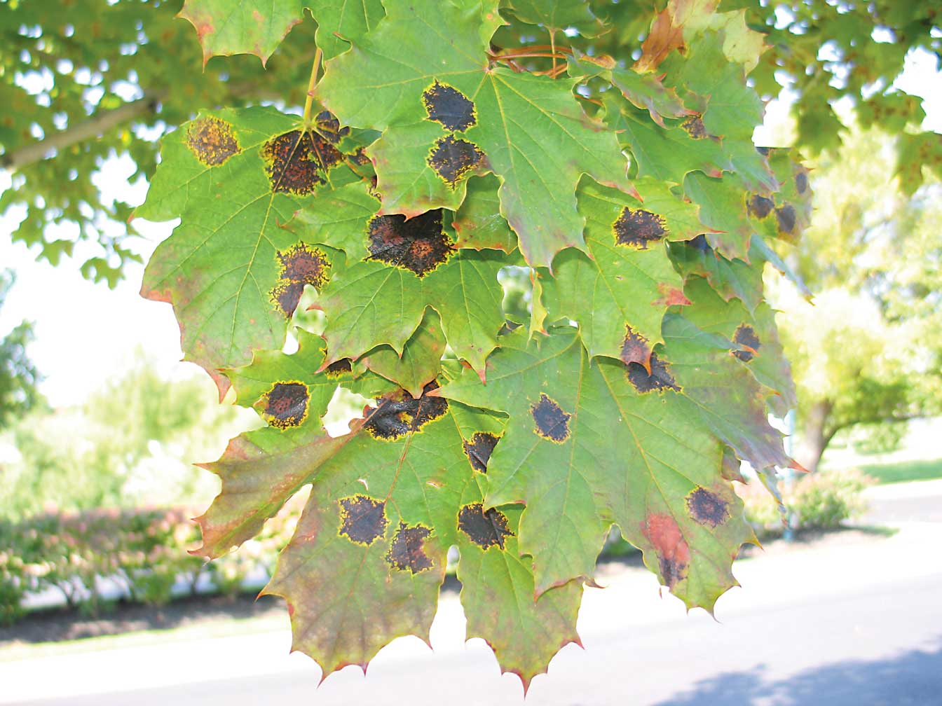 Gardening While Intoxicated: Fall color—and the lack thereof