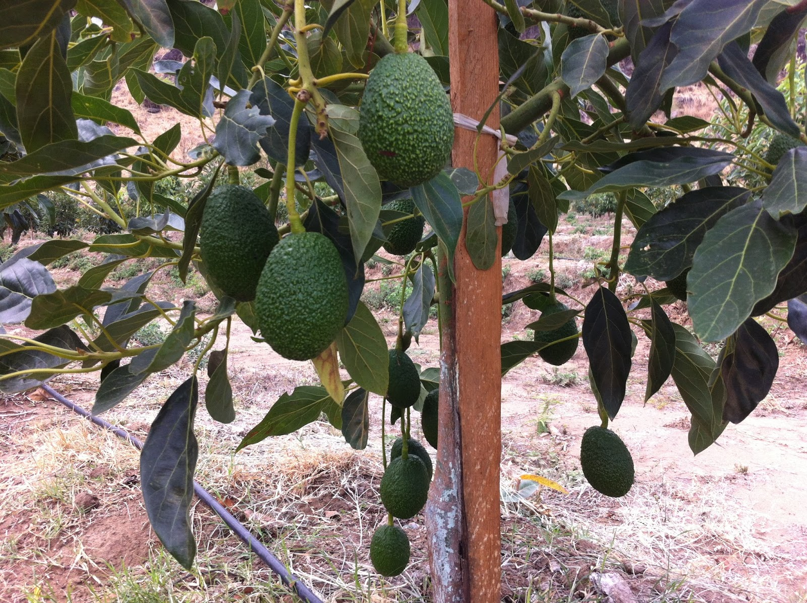 Frutales jardineros tenerife - Jardineros tenerife ...