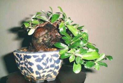 Menor espécie de Árvores bonsais do mundo