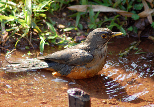 The sabia the national bird of brazil discover brazil a sabia taking a bath in a pool altavistaventures Choice Image