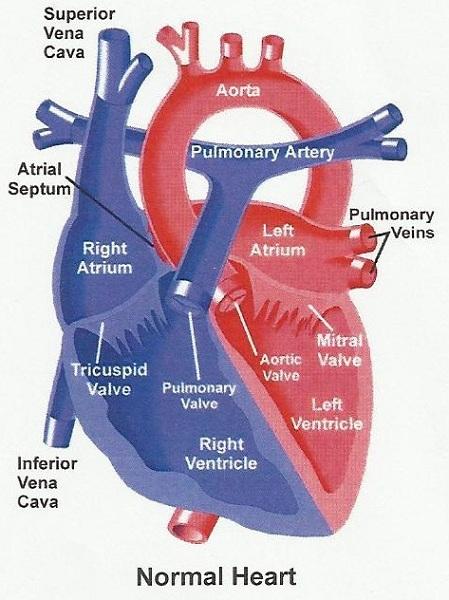 2 6 heart murmur in adult