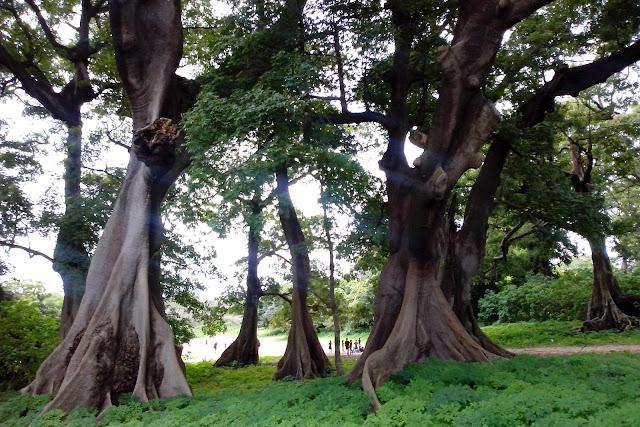 Bosque de ceibas en Djembering