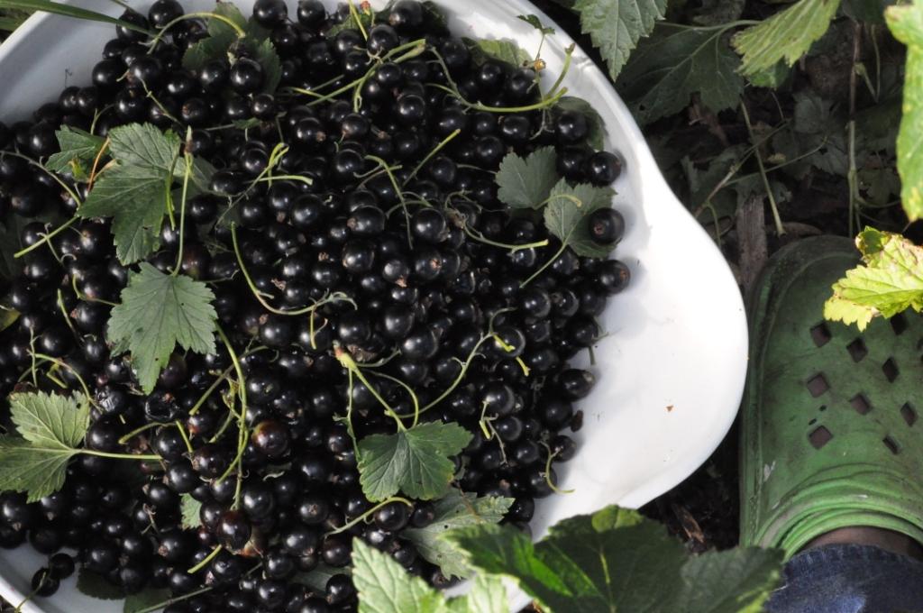 torka svarta vinbär