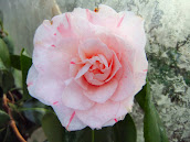 Pale pink camelia with red stripeCamelia