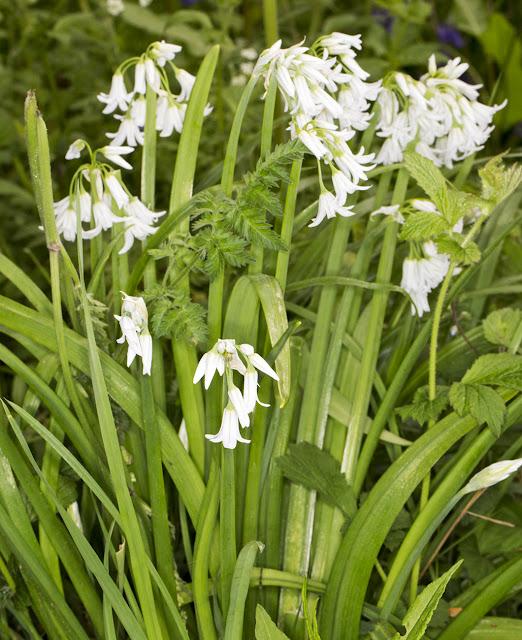 Three-cornered Leek, Allium triquetrum.  Roundabout Wood, 8 May 2015.