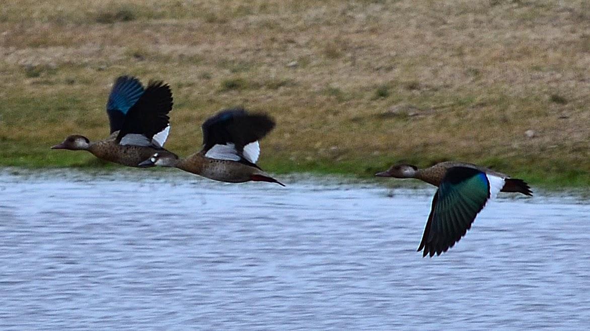 Aves de La Floresta: Pato brasilero