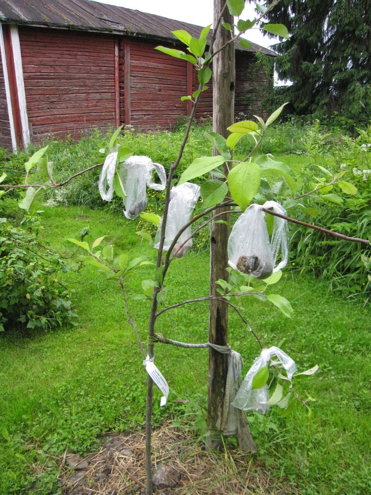 Omenapuun oksien tukeminen