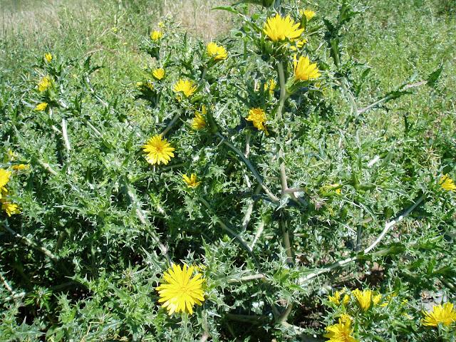cardillo-scolymus-hispanicus