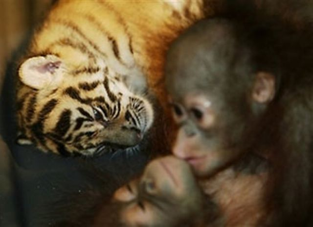 White Wolf Orangutan Babies And Tiger Cubs Become Play
