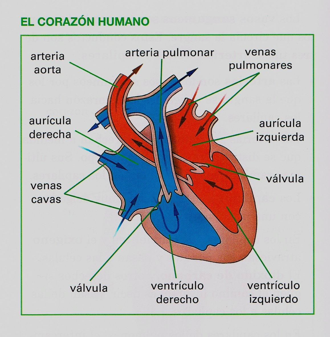 Contemporáneo Marcado Corazón Humano Diagrama Elaboración - Anatomía ...