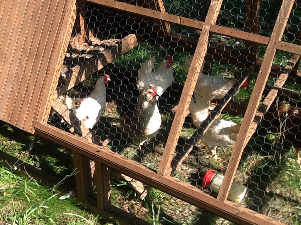 One Heavy Chicken Tractor