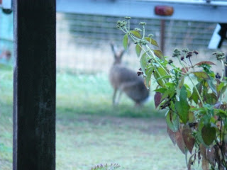 A hare in the garden?