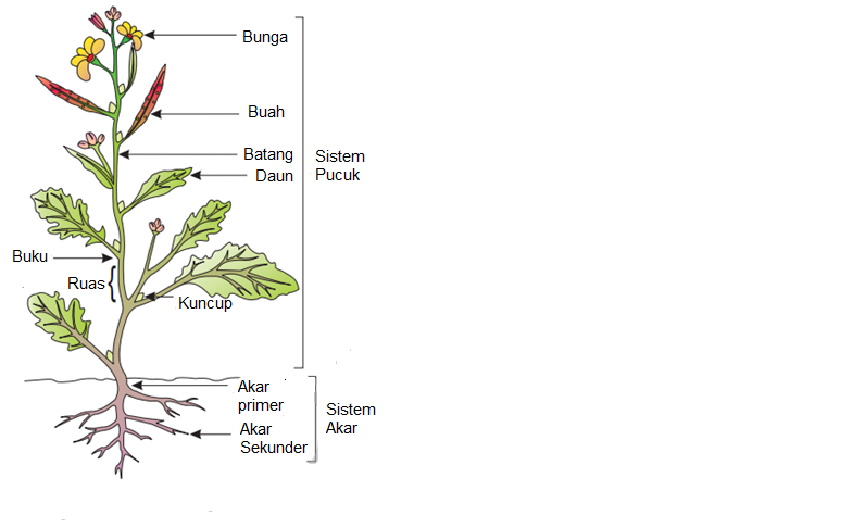 Ratna dewi wulaningsih tumbuhan sebagian besar tunas ketiak tidak aktif tetapi memiliki potensi untuk berkembang menjadi organ vegetatif mendukung daun bercabang menghasilkan bunga ccuart Image collections