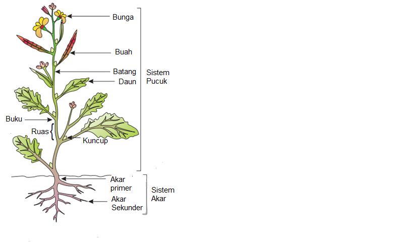 Ratna dewi wulaningsih tumbuhan sebagian besar tunas ketiak tidak aktif tetapi memiliki potensi untuk berkembang menjadi organ vegetatif mendukung daun bercabang menghasilkan bunga ccuart Choice Image