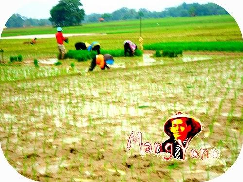 Musim tanam padi telah tiba di Pagaden Barat, Subang, Jawa Barat