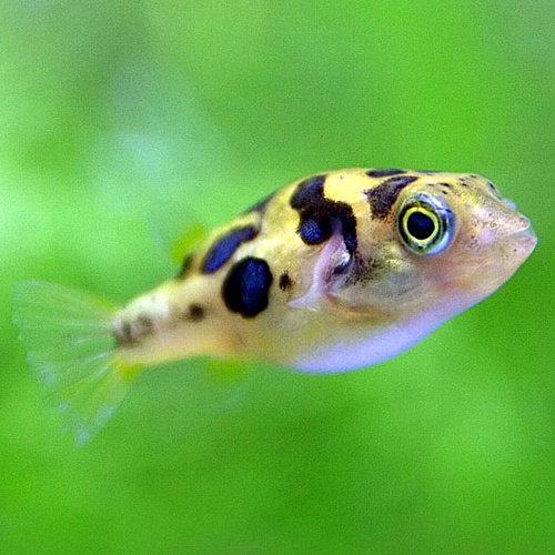 Gusto ko reira forbidden love video clip for How much is a puffer fish