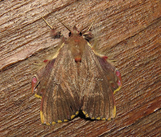 Sosxetra grata, Walker's Moth
