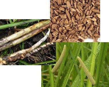 calamus root used indigestion