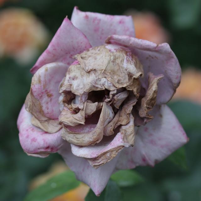 Vissen rose, som kranium/dødningehoved, ved Notre Dame