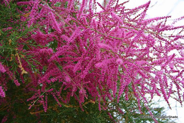 Tamarix tree flowers