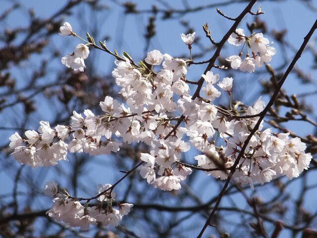 上の方で、純白のサクラが咲いていた。