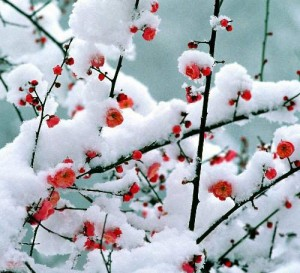 http://2.bp.blogspot.com/-3TJf6AgaXtU/Th5WrV4wOTI/AAAAAAAAAXo/QvPy4mS11jw/s1600/plum+flower+with+snow.jpg