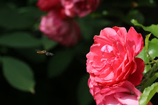 Vidunderlig rose