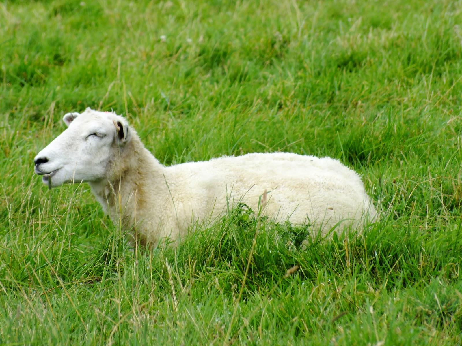 owieczka, owca