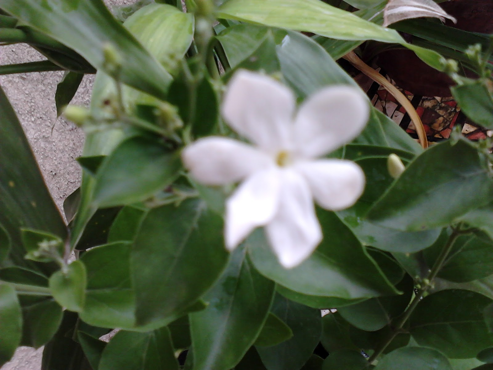 Garden Care Simplified Fragrant Jai Flowering Plant