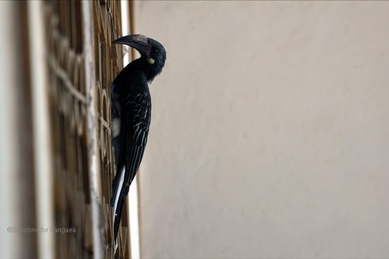 Hemprich's hornbill (Tockus hemprichii) at the door