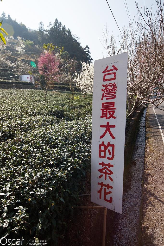2014 南投信義草坪頭櫻花季  櫻花 桃花 李花