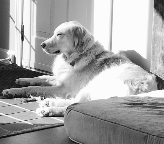 Golden Retriever laying in a sunny spot #blackandwhiteSunday