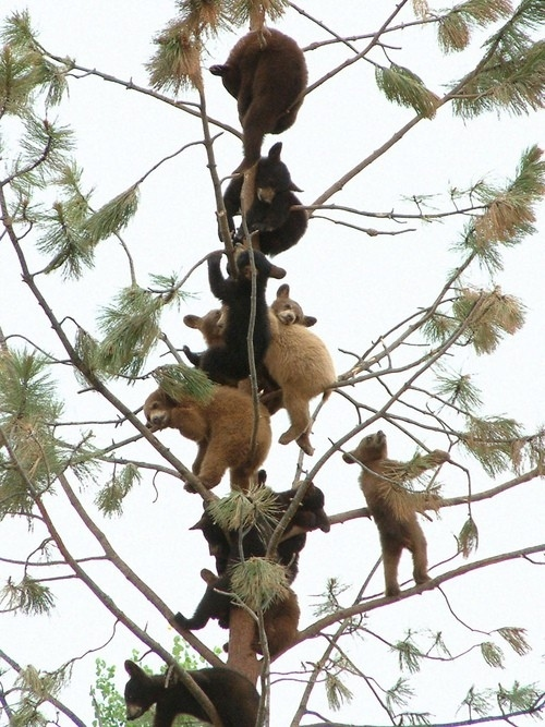bears in a tree
