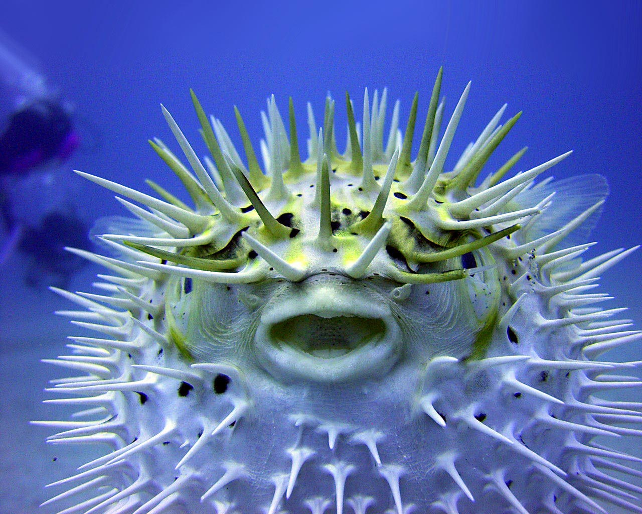 Puffer fish the life of animals for Puffer fish images