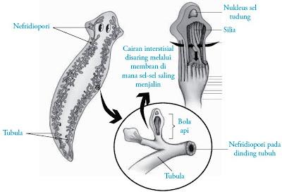 Alat-alat ekskresi Planaria cacing pipih