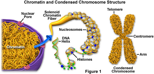 General Science Info: Chromatin