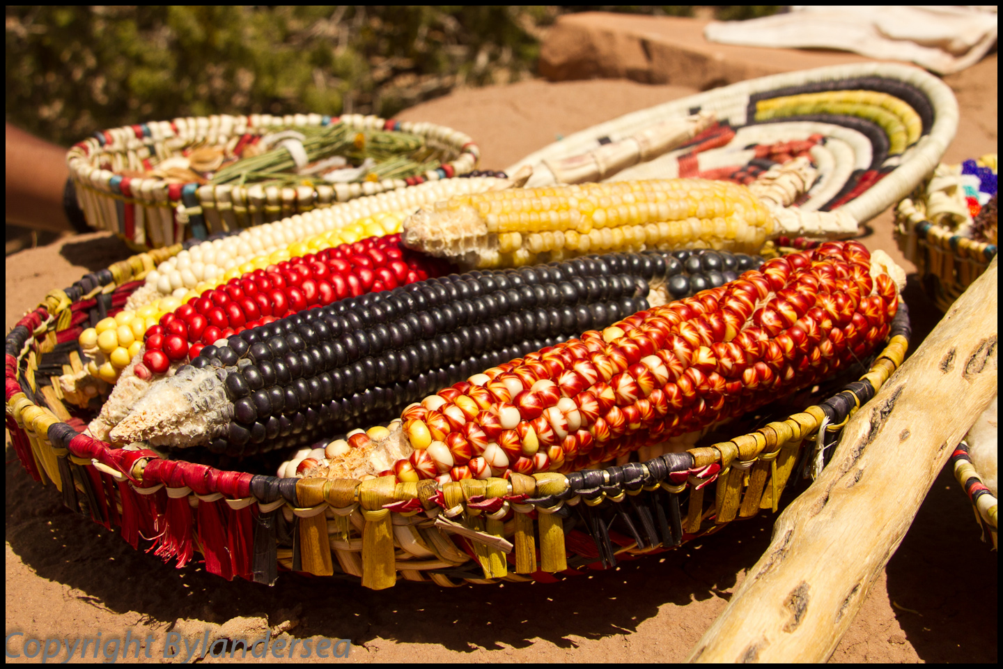 The Hopi grow many varieties of corn.