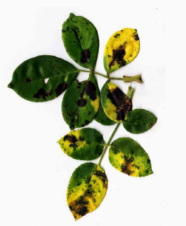 Appunti verdi i segreti del giardiniere per avere rose for Ruggine delle rose