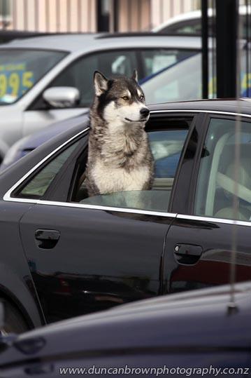Dog riding shotgun, Heretaunga St West, Hastings photograph