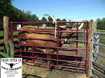 CATTLE CHUTE - FOR SALE
